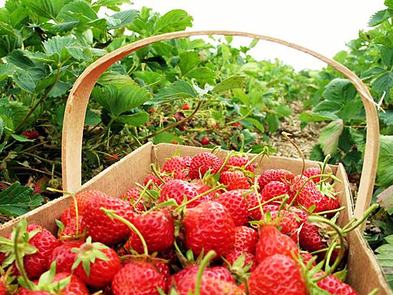 strawberry-picking-basket2.jpg