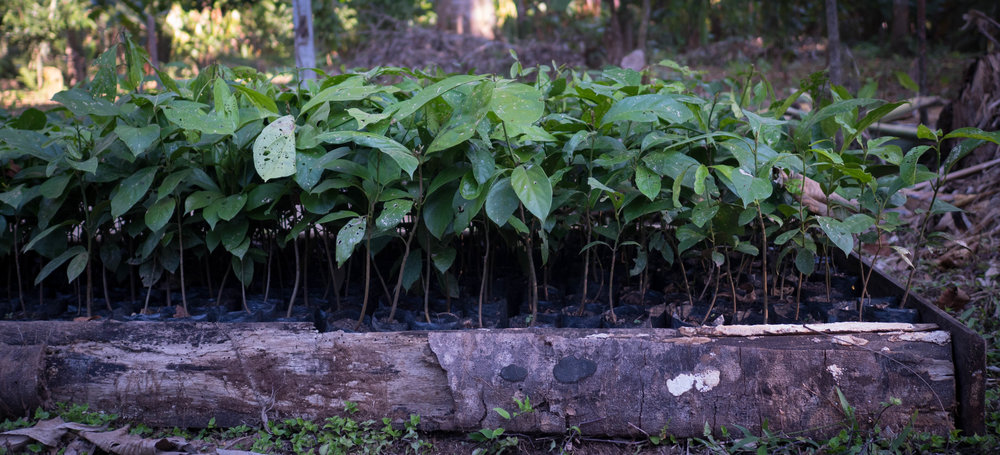 Plantones de Moena Alcanfor listos para ser plantados con nuestros agricultores asociados en 2017.