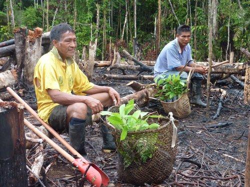 Los agricultores de Pauá de Bora se preparan para plantar plántulas de palisandro, febrero de 2013.