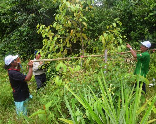 Midiendo los árboles de palo de rosa de 3 años en 2016, Ampiyacu, Loreto, Perú