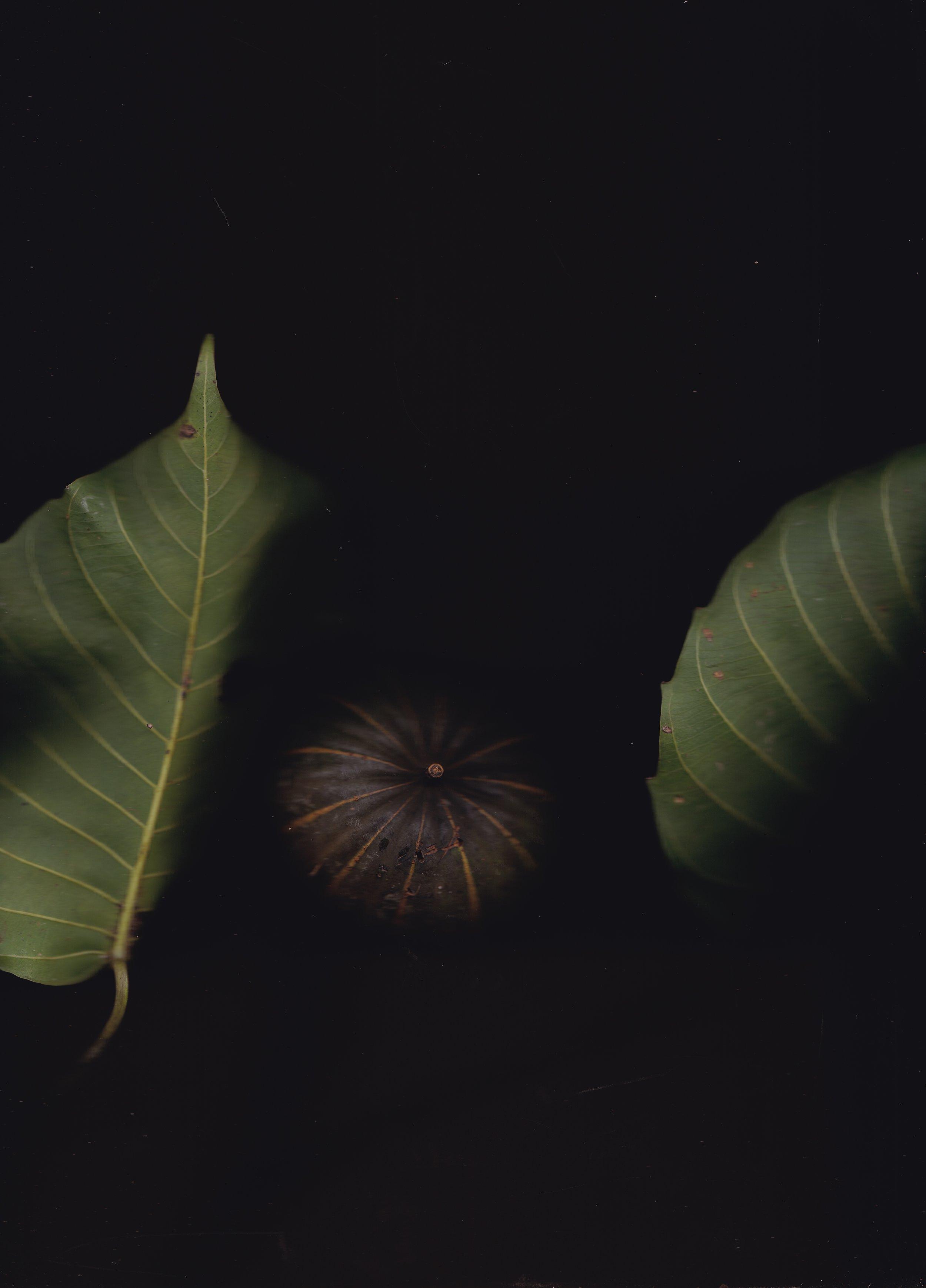 Hura crepitans  - conocido en Perú como Catahua, es un árbol con significado especial para herbalistas amazónicas; también es de rápido crecimiento hasta en áreas degradadas (promisoria para la restauración), además de ser buscado como madera para canoa.