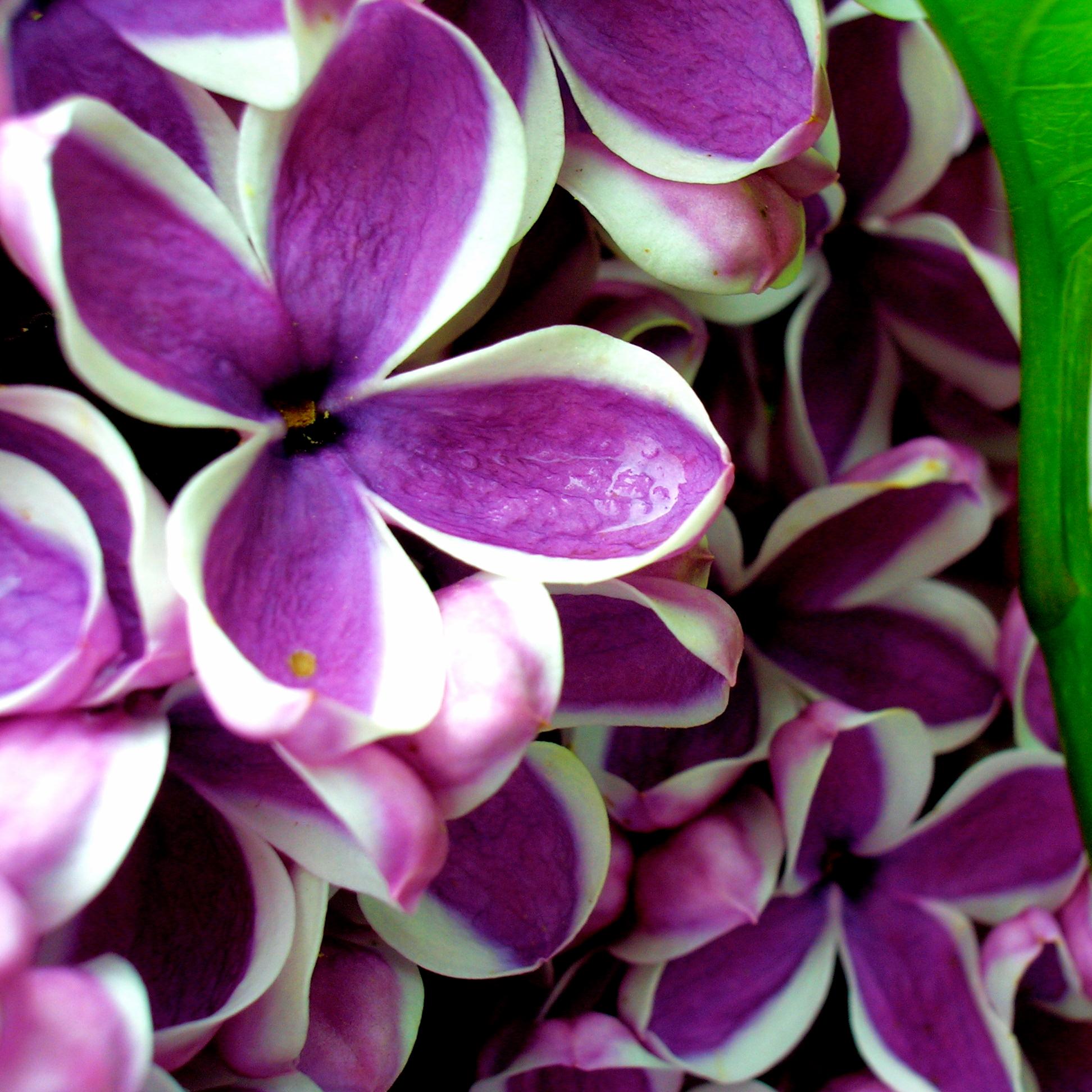 Royal_Botanical_Gardens_Lilac_Celebration.jpg