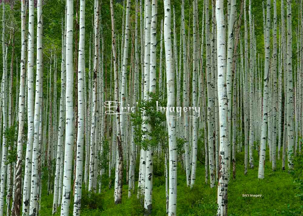 Aspen-Grove.jpg