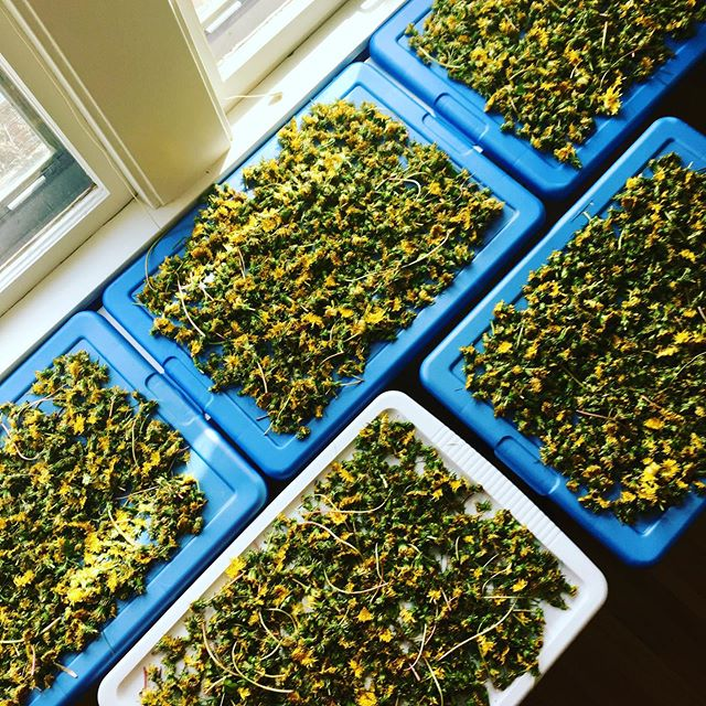 When your dad shows up at your back door with 4 gallons of fresh picked dandelions from a spray free yard. ❤️ I never mind harvesting but this week I have so many good things going on: deliveries to @homespun.mn and @taremarket , a Thursday class on herbal salve making at Tare, Tuesday at @quixoticcoffee with my #makermind group, and two weekend markets: Saturday at @kegandcasemn and Sunday at @lindenhillsfarmmarket ( #lindenhillsfestival ). #handmademn #mnevents #minneapolis #sustainablemn #stpaulmn #naturalbodycare #organicskincare #madewithlove #dadsrule
