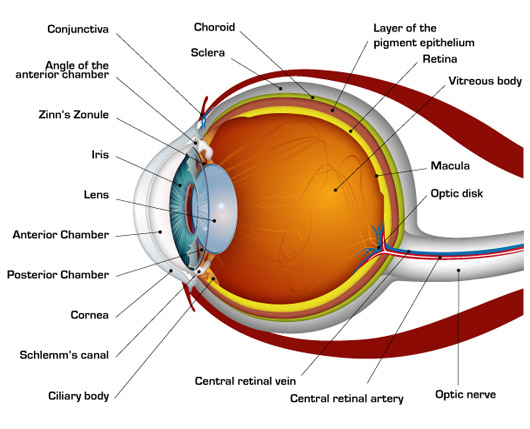 human-eye-diagram.jpg
