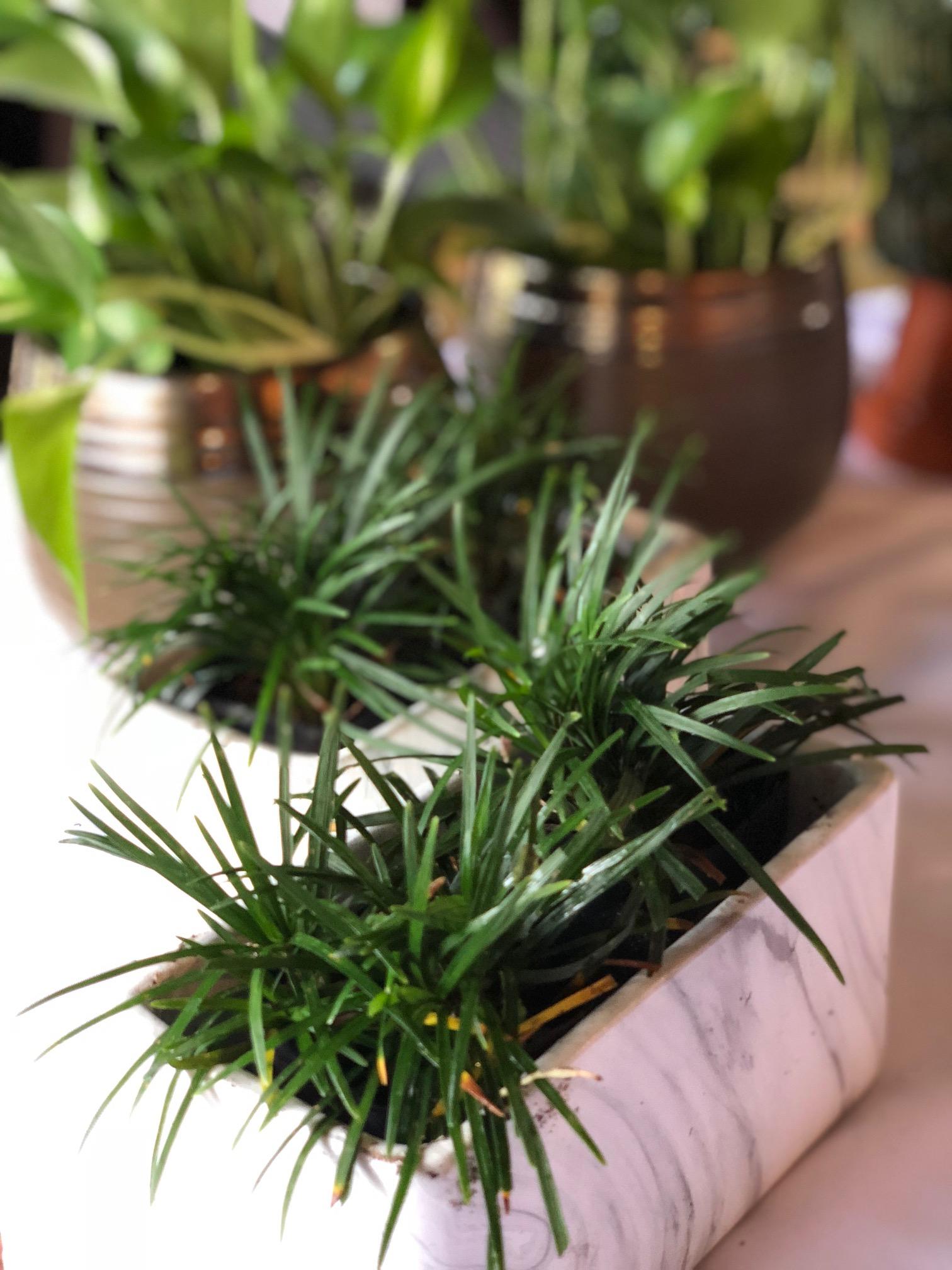 live plants-dwarf mondo.jpg