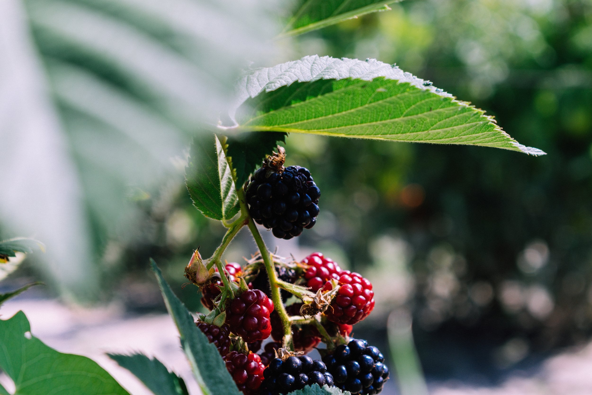 Blackberries & Raspberries - Seasonal Picking: Late June - Early July