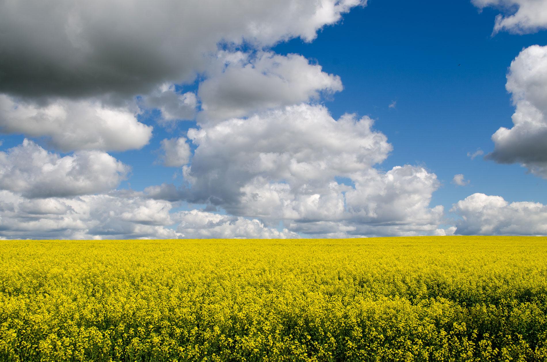 0486---Canola-Fields-Forever,-Anton-Green.jpg