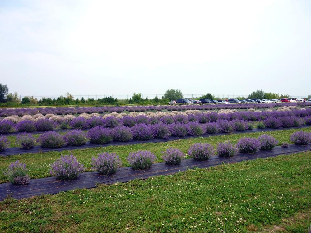 Arvinda's_LavenderFestival6.jpg