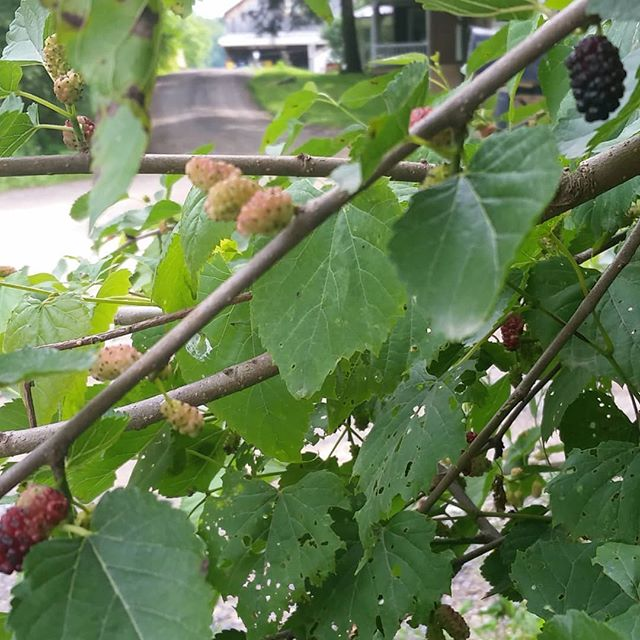 We have our own mulberry tree. You can see through it to @newmorningfarm. Wonderful #snacking for our staff.