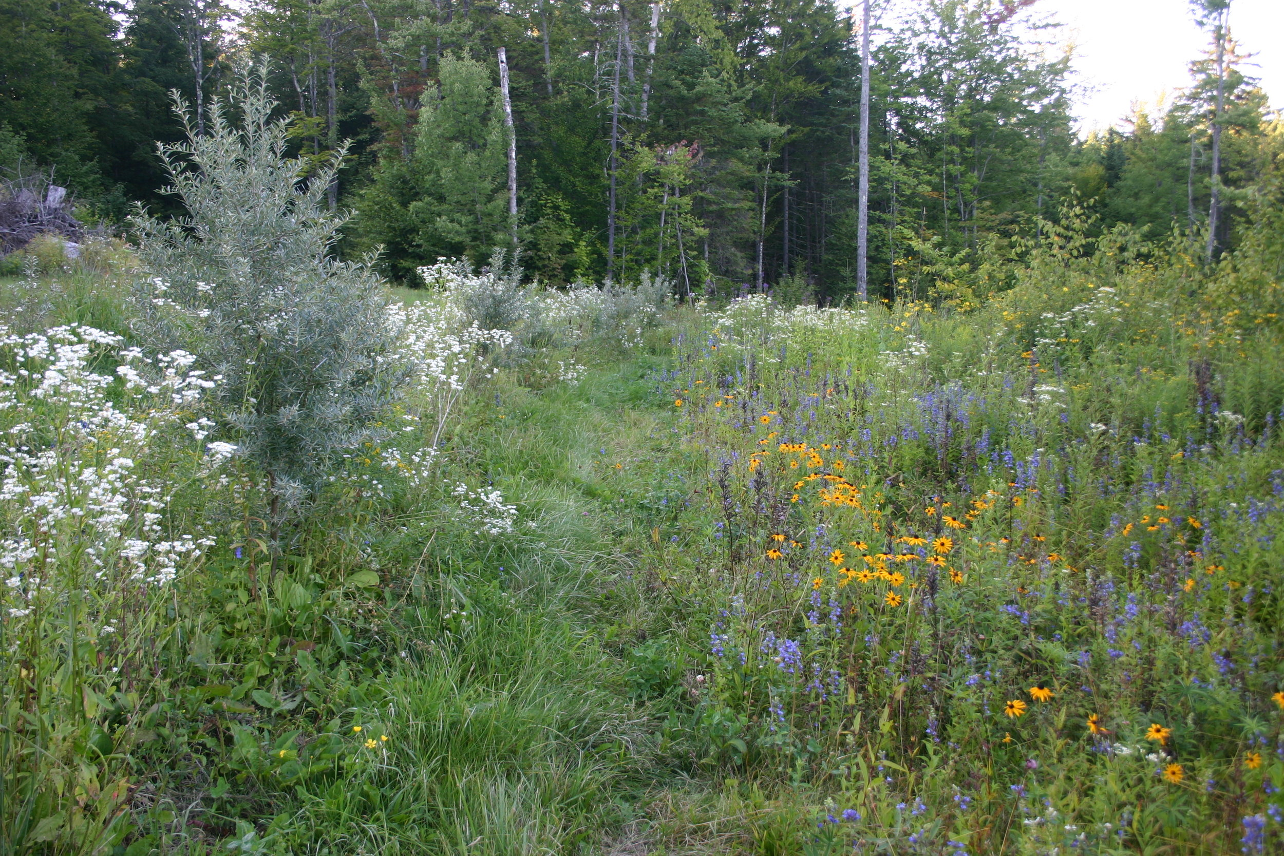 """Seaberry row with native perennial """"weeds"""", our plantings look like this by design"""