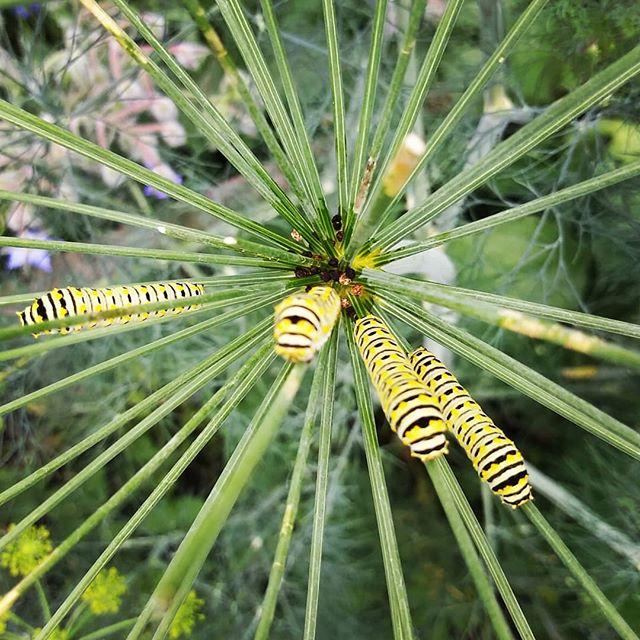 Swallowtail caterpillars ready for launch! #foodnotlawns #caterpillar #soldonlyascurio #detroitbands #detroitgarden #321liftoff