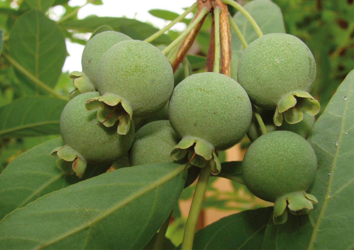 Espécie: Campomanesia pubenscens  Família: Myrtaceae