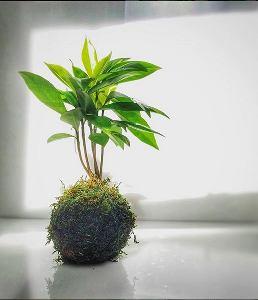 Kokedama Bonsai.png