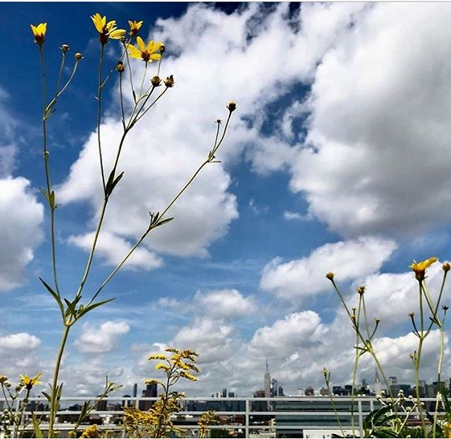Join us this Saturday as we head over to Kingsland Wildflower's rooftop festival in Greenpoint! Explore the half acre green roof habitat and native plant garden. Food and family friendly activities all day! 520 Kingsland Ave, 12-4pm @kingslandwildflowers  Kingsland Wildflowers is a Greenpoint Community Environmental Fund project committed to expanding natural habitat and green corridors for bird  and wildlife populations. The aim is to support native New York City wildlife and educational programming.