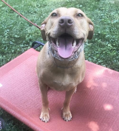 Madison WI dog training. Happy pit bull