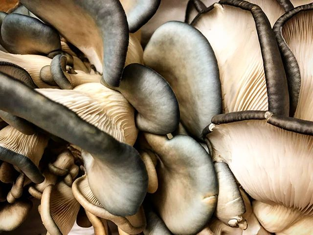 Mushrooms may be one of the most important ingredients in the culinary world. Not only are they super versatile and can be featured in so many delicious ways, they also are packed with extremely healthy nutrients. We can't imagine a world without these delicious fungi. We love you ❤️ (Amazing oyster mushrooms from Tivoli Mushrooms)  #dayofthemushroom #gristmill #gristmillbk #parkslope #brooklyn#brooklyneats  #eeeeeats #f52grams#yahoofood #eater #feedfeed #chefsfeed#foodintheair #foodandwine#chefsofinstagram #foodporn #newforkcity#nytimes #foodandwine  #eatupnewyork #instafood#farmtotable #nyceats#eaterny #buzzfeast #nyceeeeeats#grubshotsnyc #eatingnyc #mushrooms