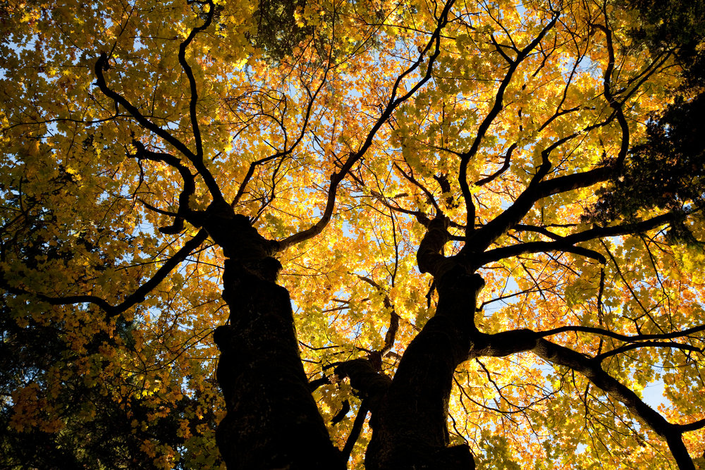 luminous-oak-trees-in-fall-155131795_2125x1416-3.jpeg