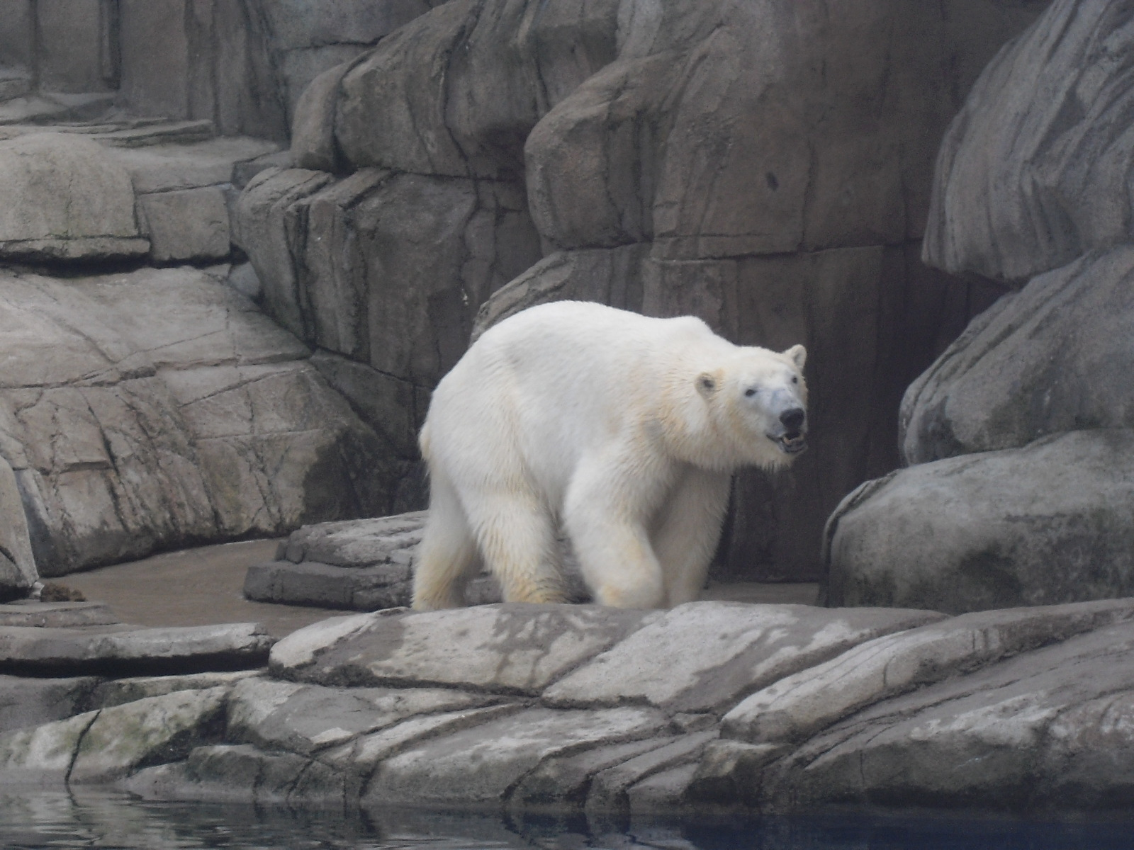 June 30, 2010. Polar Bear at Pittsburgh Zoo. Photo by ChubbyWimbus at wts wikivoyage [CC BY-SA 3.0 (https://creativecommons.org/licenses/by-sa/3.0)], via Wikimedia Commons
