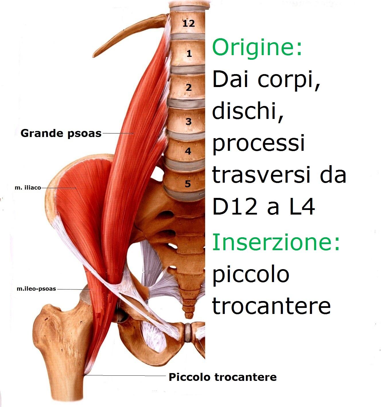 ileopsoas-mezzo1.jpg