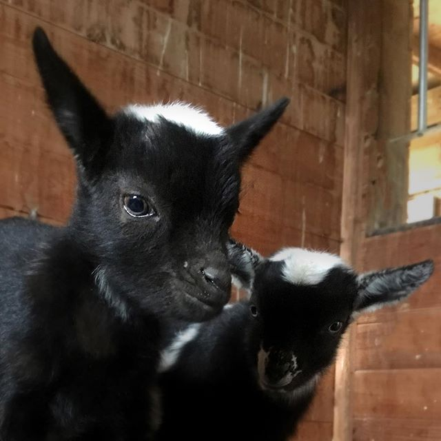 First of the kids. Tricolors with moonspots. Available June 1. #nigeriandwarfgoats #tricolor #goats #kids #portraits #thefancyf #moonspots #flashy