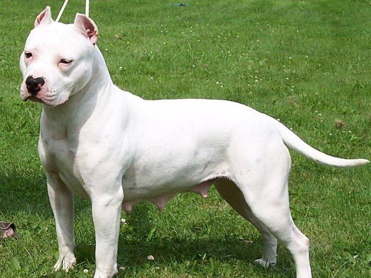 american-staffordshire-terrier-1-2.jpg