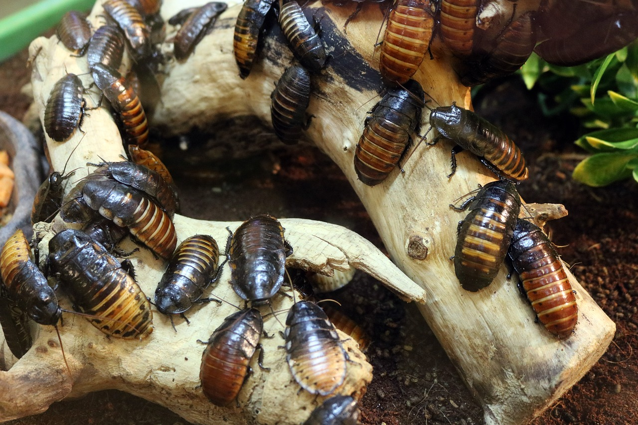 Cockroaches by the thousands and rats the size of a rabbit : Lisbon invaded by parasites and pests