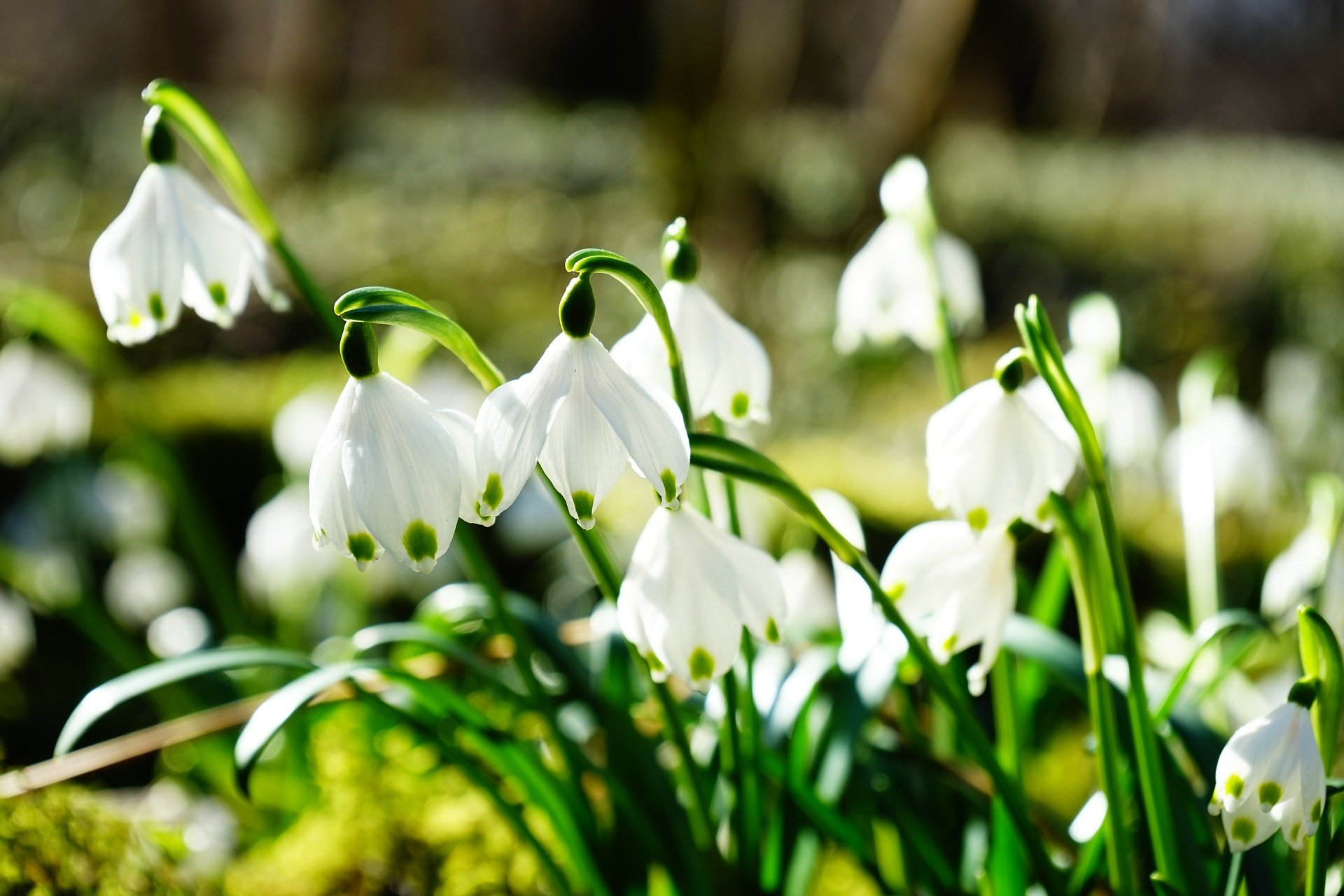 Snowdrop Sundays at Pencarrow House