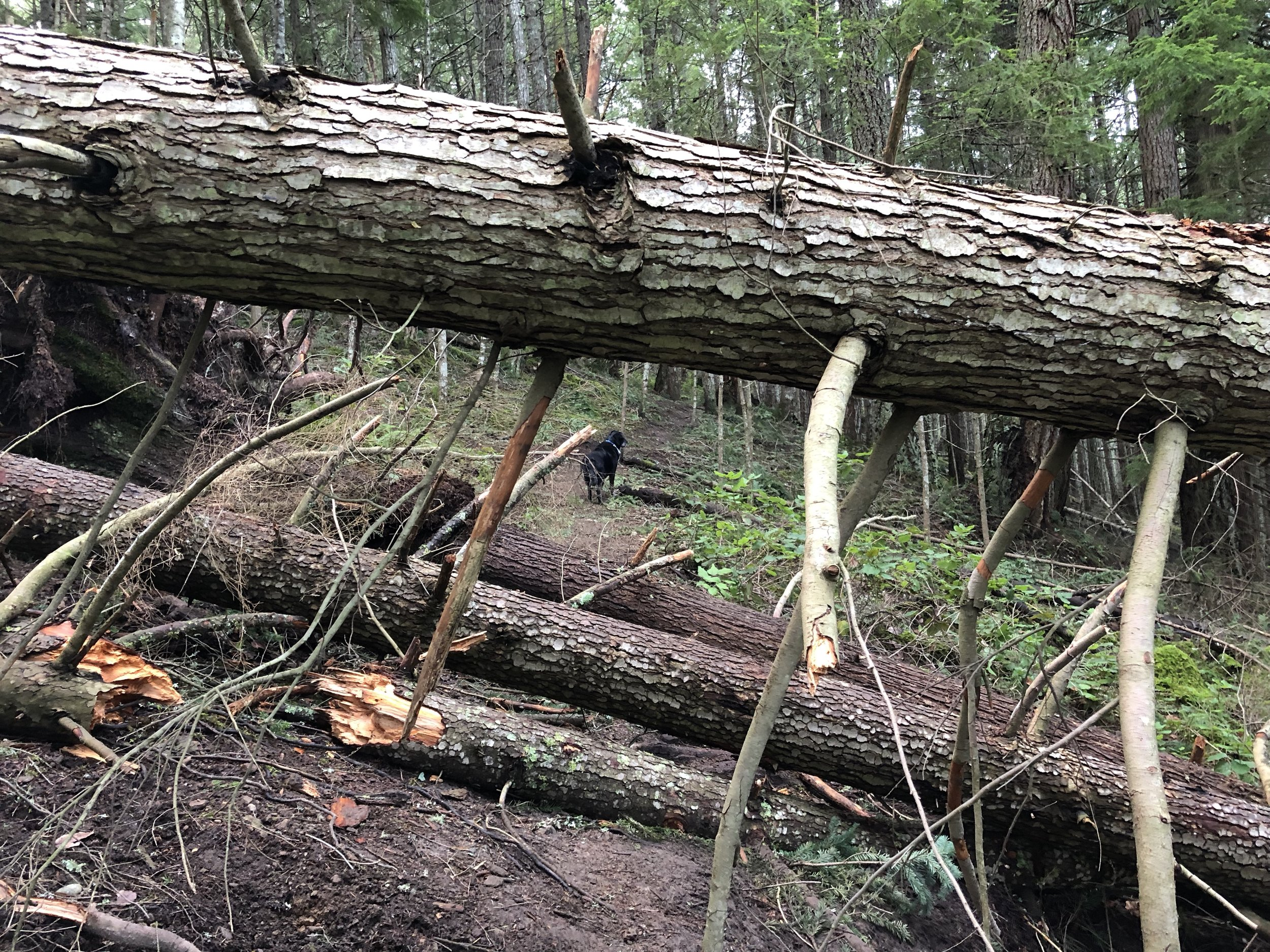 Just one of many trees down.