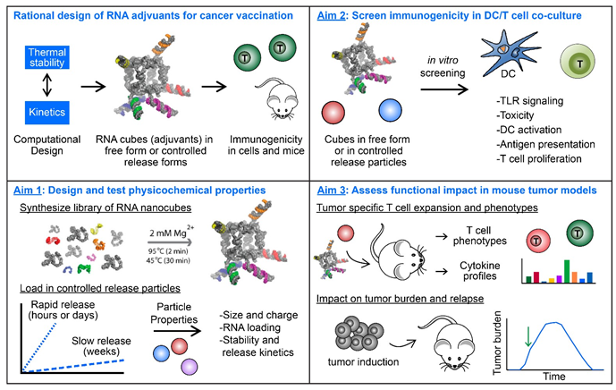Approach to design and test controlled release of RNA adjuvants for enhanced cancer vaccination