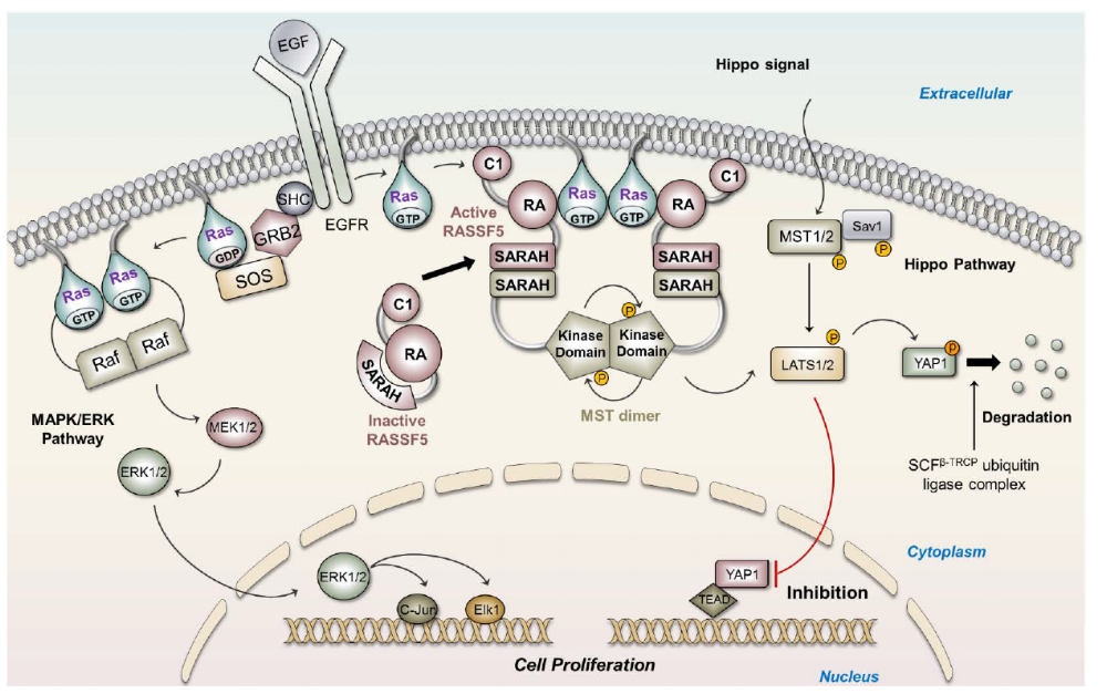 Extracellular epidermal growth factor (EGF) binding to the EGF receptor induces association of SHC, GRB2 and SOS, leading to SOS activation. SOS activates Ras by exchanging GDP to GTP. Active Ras can either associate as well as activate Raf(MAPK) or RASSF5(Hippo). Active RASSF5 increases the fluctuations of its SARAH domain which now heterodimerizes with the SARAH domain of the MST kinase leading to kinase domain dimerization. MST kinase auto-transphosphorylation induces Hippo signaling and results in YAP1 phosphorylation. Phosphorylated YAP1 is degraded by the SCF^β-TRCP ubiquitin ligase complex, preventing cell proliferation and suppressing tumor.