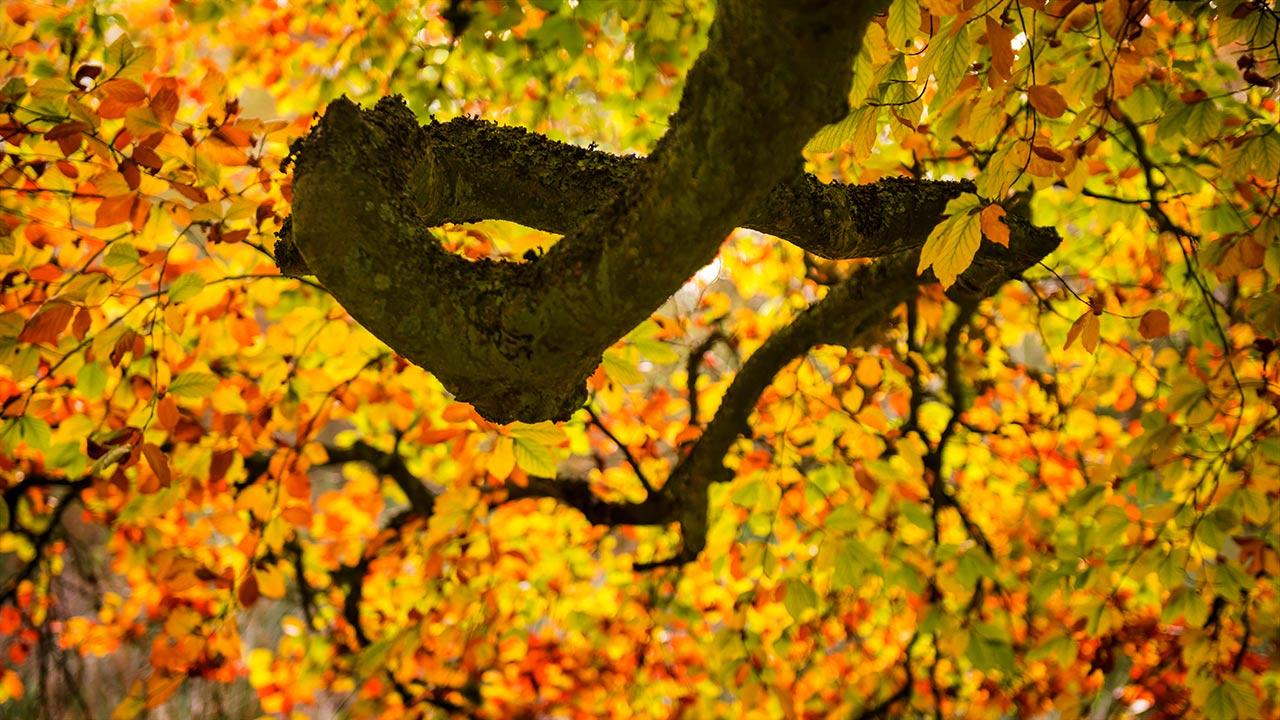 beech-bendy-branch-1280-wee.jpg