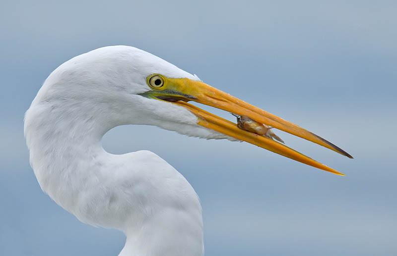 Great Egret feeding by John Hazard