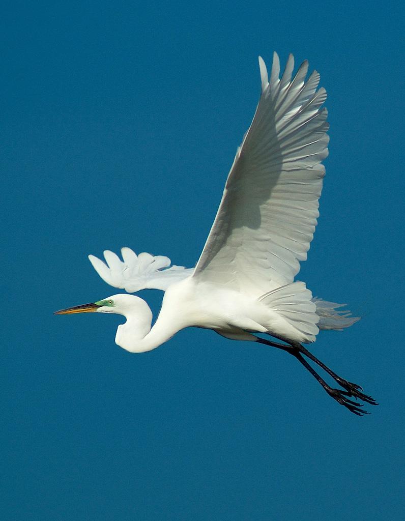 Great Egret in flight by Fred Breitwieser