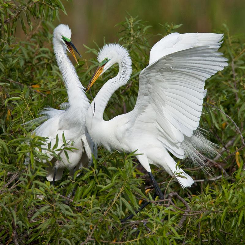 Nesting Great Egrets by John Hazard