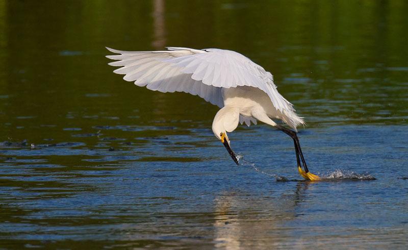 Snowy Egret fishing by John Hazard