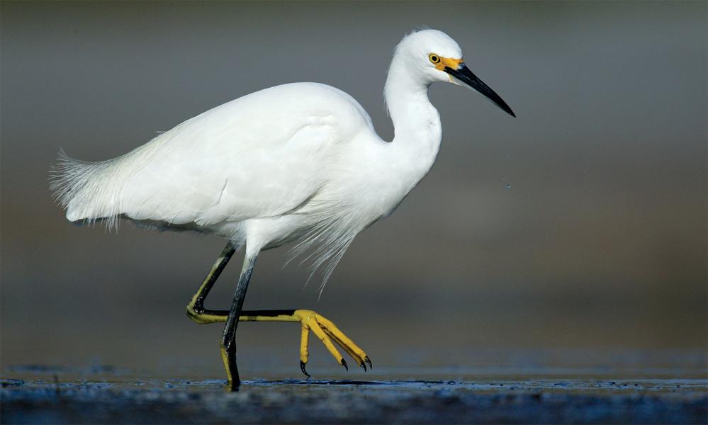 Snowy Egret by Arthur Morris/BIRDS AS ART