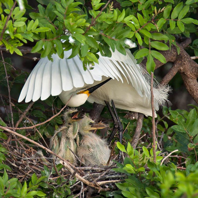 Snowy Egret and chicks by John Hazard