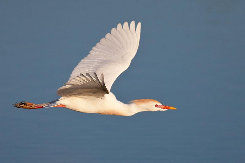 Cattle Egret in flight by John Hazard