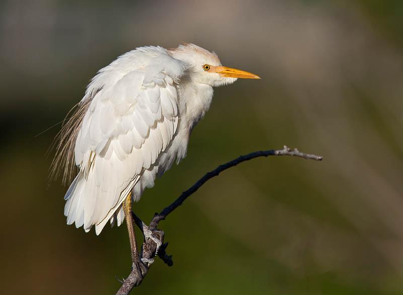 Cattle Egret on a branch by John Hazard