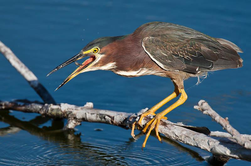 Green Heron fishing by John Hazard