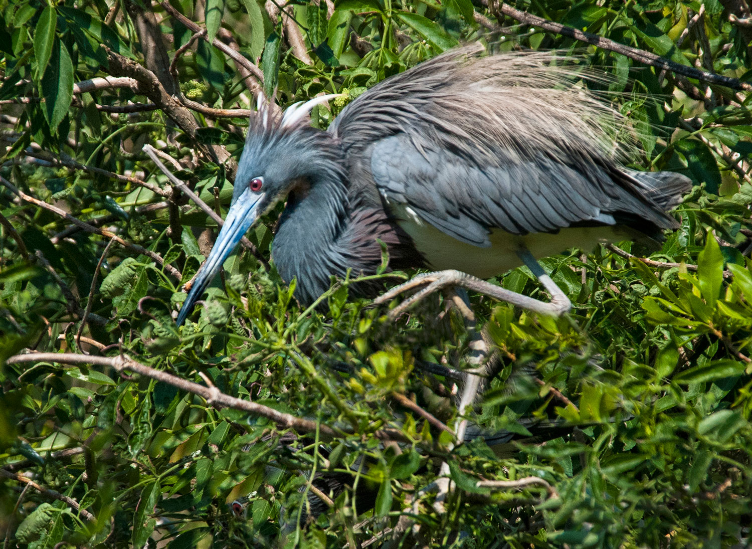 Tricolored Heron by Eileen Cohen