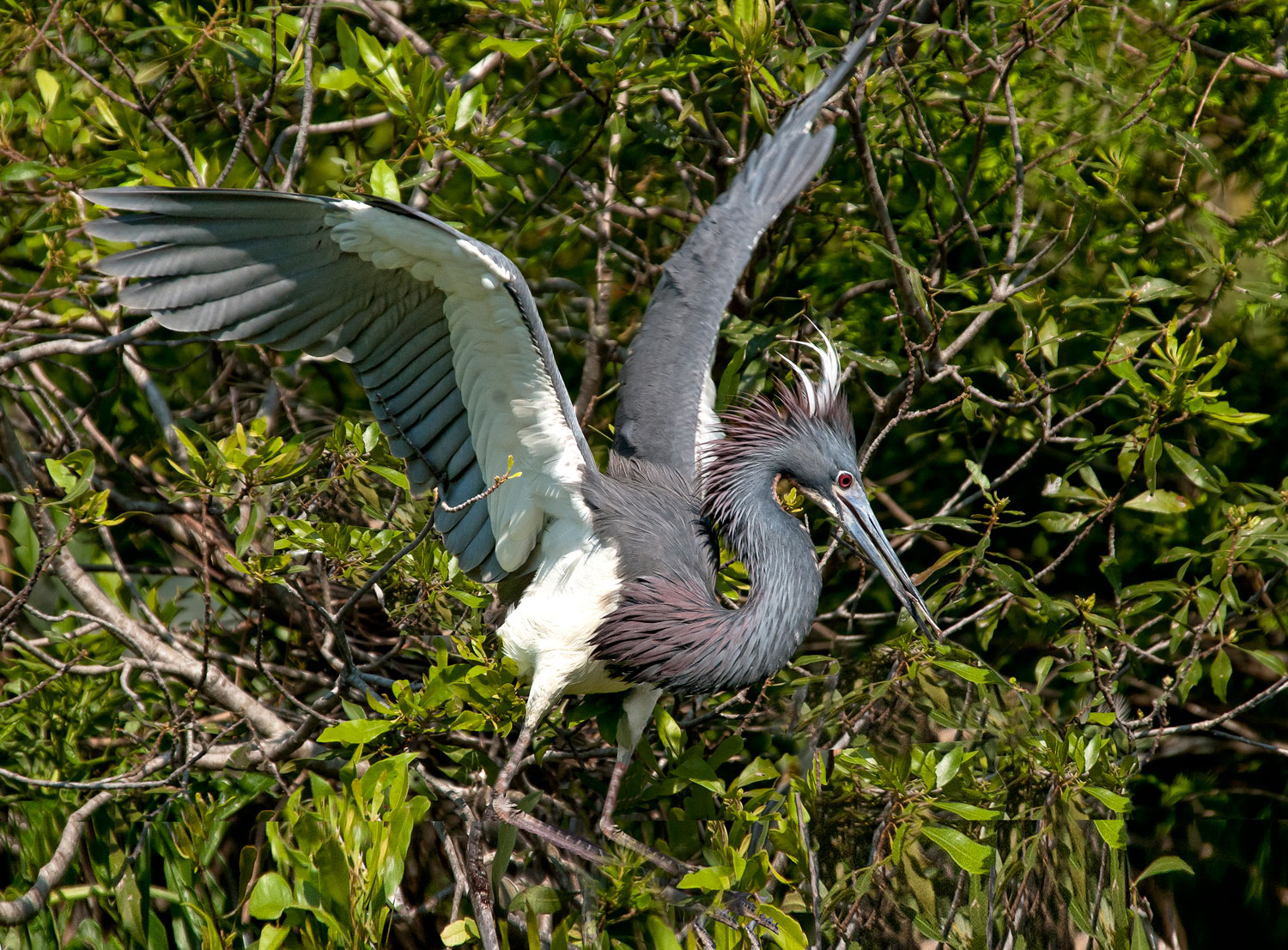 Tricolored Heron flapping its wings by Eileen Cohen