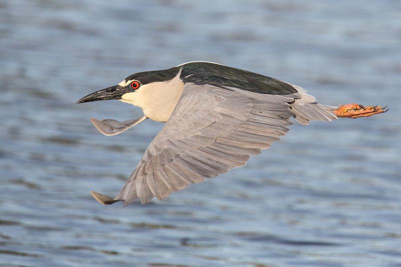 Black-crowned Night Heron in flight by John Hazard