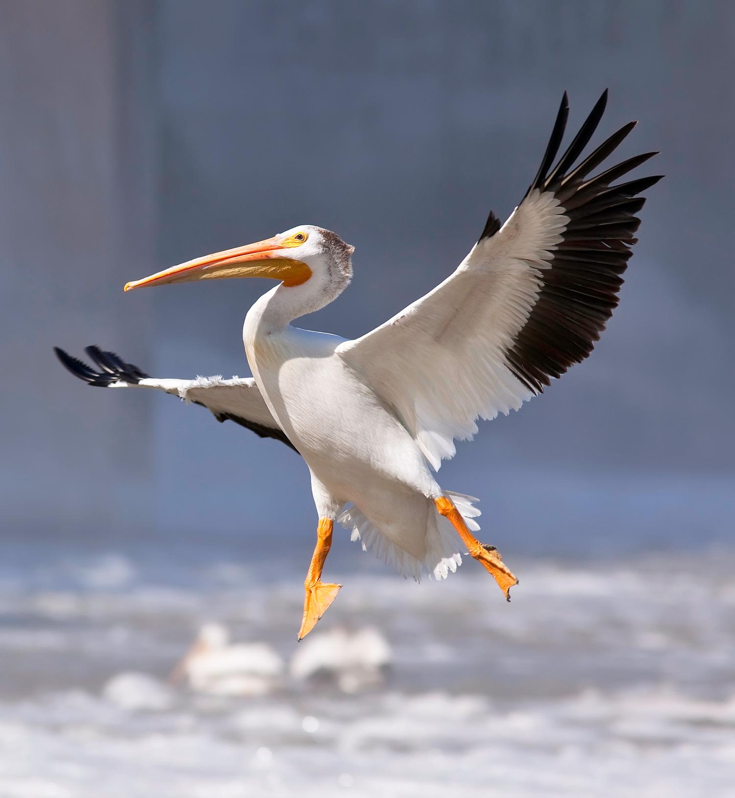 American White Pelican  Ken Gillespie/Flickr Creative Commons