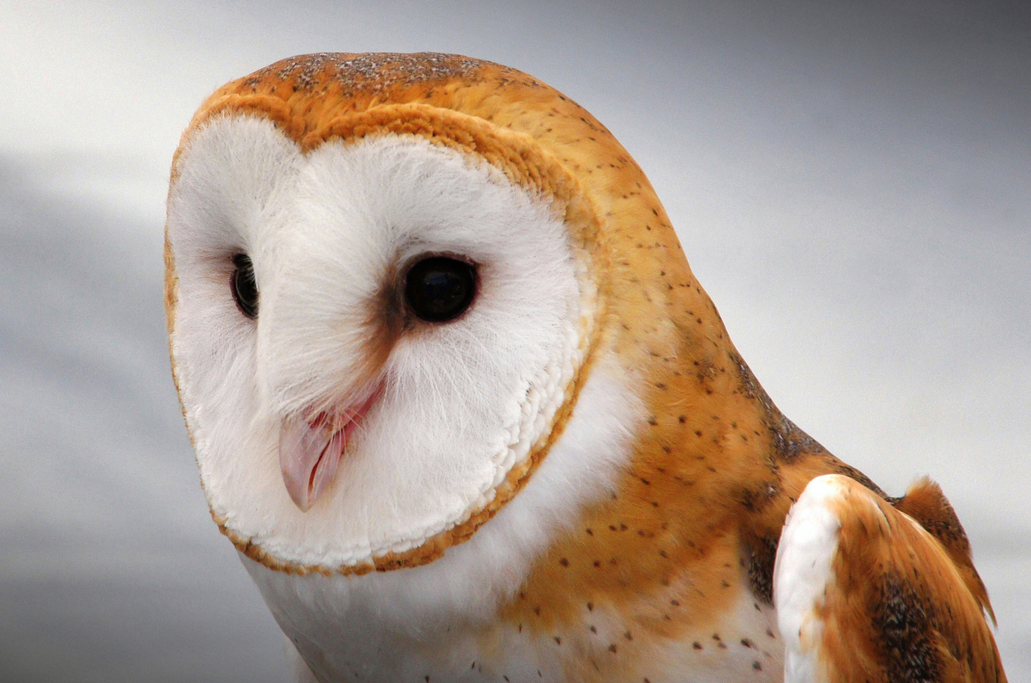 Barn Owl  Greg Lilly/Flickr Creative Commons
