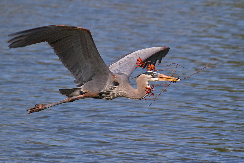Great Blue Heron in flight  Sal Catizone
