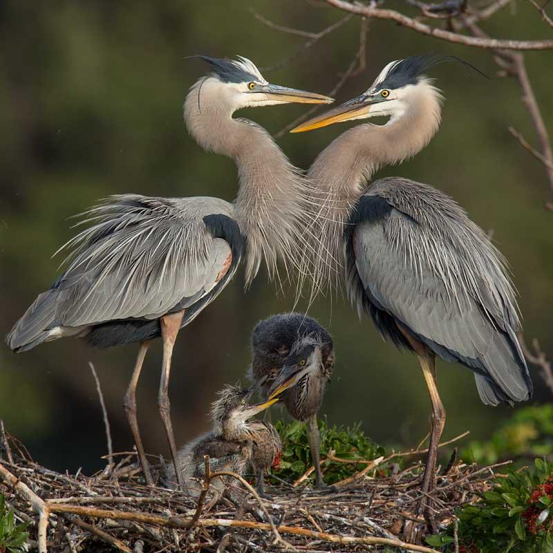 Great Blue Heron chicks  John Hazard
