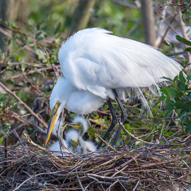 RAISING A FAMILY   The Great Egret is one of many species that nests at the Rookery.