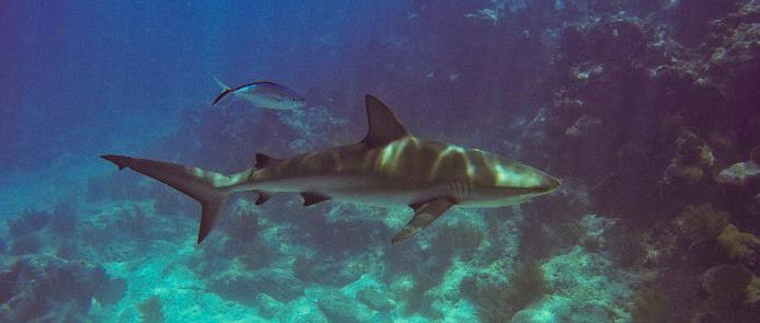 when you're in this guy's territory, you have to be alert at all times. while reef sharks are generally wary o people, they are not above taking advantage of an easy meal, and spearfishermen make it too easy when they shoot a fish and don't get it to the surface fast enough.